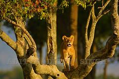ADS_Kenya_000056691 (dickysingh) Tags: africa wild animals kenya wildlife safari mara migration serengeti masai maasai wwwranthambhorecom