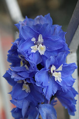 I fiori del mio terrazzo-101 (Maurizio Zanella) Tags: flowers italia fiori delphinium alessandria ovada