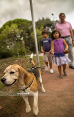 Walking the Dog (¡arturii!) Tags: park family boy summer dog hot beagle nature girl animal animals tongue walking warm child brothers walk young natura bulldog paseo domestic pack verano tricolor leash passeig calor corretja passejar ehat bigui
