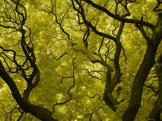 Infrared Tree - Mysore Palace, Karnataka, India