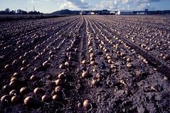 Onion farm (threepinner) Tags: autumn mamiya japan 50mm hokkaido farm harvest 北海道 日本 onion universal positive press タマネギ f63 hokkaidou mikasa selfdeveloped 三笠 kayano northernjapan sekor 北日本 萱野 alkalinepushing