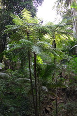 Treeferns (Cyathea cooperi) at Curtis Falls, Tamborine National Park (tanetahi) Tags: fern nationalpark rainforest native australian australia queensland subtropical tamborinemountain treefern mttamborine cyathea cyatheacooperi