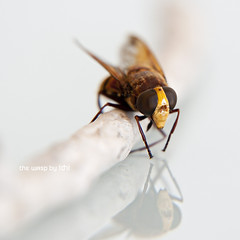 the wasp (idni . idniama) Tags: brown detail macro animal yellow insect grey nikon wasp squareformat gettyimages avispa 2013 idni gettyimagesiberiaq3