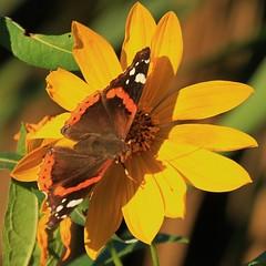 farfalla al sole - Pianello di Ostra (walterino1962 / sempre nomadi) Tags: foglie ombre luci fiore petali riflessi corolla farfalla ancona ostra gambi pistilli