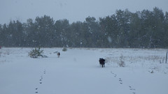 There they go! (moos) Tags: dog snow dogs october montana spice sugar bordercollie englishspringerspaniel