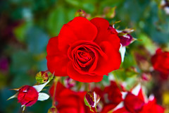 Love Rose (smileali) Tags: flowers red flower green leave love nature colors rose canon 5dmarkii