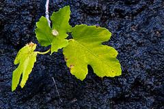 Chlorophyll (Oliver Sonns) Tags: leaves leaf nationalpark croatia blatt zadar starigrad hrvatska kroatien chlorophyll paklenica paklenicanationalpark blattgrun