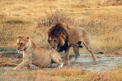 (Daughter#3) Tags: africa tanzania wildlife lion mating ngorongorocrater pantheraleo blackmanelion waia flickrbigcats