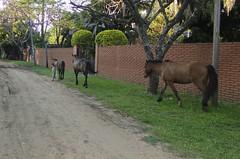 cavalinhos 02 (Parchen) Tags: cavalos cavalo filhote cavalinho potro equuscaballus potrinho cavalodoméstico