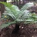 tree fern in Ashgrove Reserve