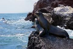 "_DSC5664  ""Galapagos Sea Lion"" ""Leon Marino de Galapagos"" (ChanHawkins) Tags: sea de bay galapagos area april pm marino bay"" 11"" lion"" ""leon ""galapagos galapagos"" shoreline"" ""thurs ""isabellaelizabeth"