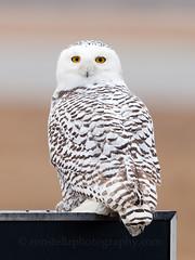 and Harry Potter is real too (Ron Stella) Tags: white snow bird nature harrypotter rhodeisland raptor owl snowowl birdsofprey rhody snowyowl whiteowl hedgwig ronaldjstella