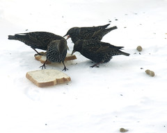 Starlings (reneetellezphotography) Tags: winter brown white snow cold birds birdseed michigan january select 2014