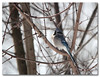 Winter Blue (Tustin Designs) Tags: winter bird nature january bluejay 2014 southwesternpa dailynaturetnc12