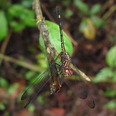 Unidentified Dragon (Camerar) Tags: dragon dragonflies dragonfly belize odonata