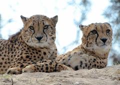 Brüder (karinrogmann) Tags: brothers cheetahs brüder fratelli ghepardi kölnerzoo geparden