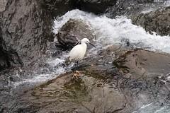 小白鷺 Photo