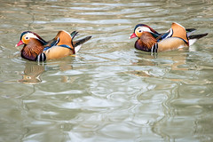 Deja Vu (Rooney Photography) Tags: reflection bird water duck colorful mandarinduck animalplanet sylvanheights