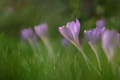 Among the crowd, softly (HonleyA) Tags: fuji fujifilm crocus spring flower