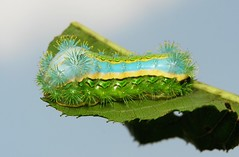 "Late Instar Stinging Nettle Slug Caterpillar (Cup Moth, Parasa julikatis, Limacodidae) ""Sand and Sea"" (John Horstman (itchydogimages, SINOBUG)) Tags: insect macro china yunnan itchydogimages sinobug cup moth lepidoptera limacodidae stinging nettle slug caterpillar larva sand sea sandandsea blue topf25 fbl top entomology"