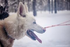 IMG_2426 (F@bione©) Tags: lapponia lapland marzo 2017 husky aurora boreale northenlight circolo polare artico rovagnemi finalndia finland