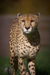 cheetah (rondoudou87) Tags: guepard guépard cheetah pentax k1 parc zoo reynou wildlife wild wildcat sauvage smcpda300mmf40edifsdm nature natur
