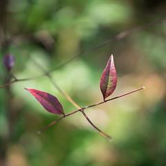 葉 (23fumi@fuyunofumi) Tags: ilce7m2 sony α7ii 50mm e50mmf18oss sel50f18 leaf leaves plant 葉 植物 bokeh dof