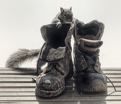 connaisseur of vintage footware (marianna_a.) Tags: footwear boots workie construction old paint scuffed worn dirty cute furry squirrel animal peeking bench hss mariannaarmata f64 f64g81r2win f64g81champ