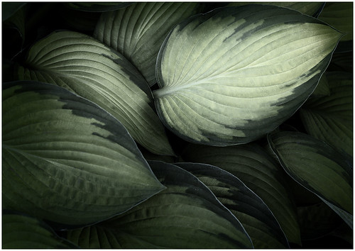 Hosta Highlight - by Bill Dixon