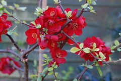 Chaenomeles x superba 'Crimson and Gold' (basswulf) Tags: flower red chaenomeles chaenomelesxsuperba crimsonandgold floweringquince d40 50mmf18e lenstagged unmodified 32 image:ratio=32 camerasetting:aperture=f4 permissions:licence=c plantdb:family=pending 20170324 201703 3008x2000 garden normcres oxford england uk 52photos