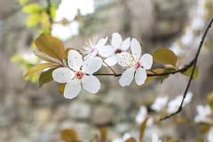 White (JC Arranz) Tags: españa 35mm barcelona flores naturaleza ciudad blanco cataluña vic almendro nikond3200