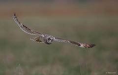 Velduil - Short-eared Owl - Asio flammeus  -2238 (Theo Locher) Tags: velduil shortearedowl sumpfohreule hiboudesmarais asioflammeus vogels birds vogel oiseaux belgium belgie copyrighttheolocher