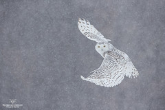Sous la neige !! (Philou73couz) Tags: harfang harfangdesneiges canada hiver monregardsurlanature nature owl philippedebruyne québec snowyowl wildlife winter