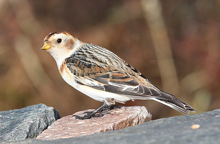 SNOW  BUNTING....Cairngorms