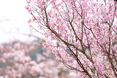 Sakura (Teruhide Tomori) Tags: sakura cherry tree flower spring kyoto japan japon arashiyama garden blossom bloom tenryujitemple 嵐山 天龍寺 京都 春 庭園 桜 日本 嵯峨野