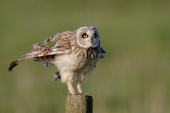 Short-eared Owl (Marvandae) Tags: asioflammeus shortearedowl uitkerksepolder velduil bird vogel
