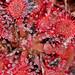 Pink Sundew (Drosera capillaris) (Mary Keim) Tags: taxonomy:binomial=droseracapillaris centralflorida marykeim lowerwekivariverpreserve