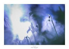 Tendresse inavouée (Naska Photographie) Tags: naska photographie photo photographe paysage proxy proxyphoto macro macrophotographie macrophoto naïf fleur bleue flower blue sauvage ambiance univers tendresse sweet sweetness mélancolie mélancolique color coulbok perce neige perceneige histoire floral