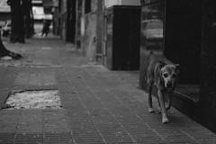 idêntico (quedy!) Tags: buenos aires argentina palermo dog street rua cão cachorro sad triste melancholy melancolia animal city cidade preto e branco pb black white bw natural light luz