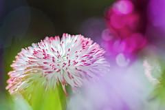 Spring Greetings (memories-in-motion) Tags: spring light flower bokeh colors greeting blossoms dof sigma quattro macro 105mm nature outdoor sunlight enjoy foveon sdquattroh red white macro105mmf28exdgoshsm garden