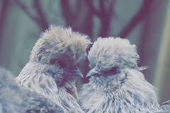 IMG_012083 - Chicken love 💕 (Monique van Gompel) Tags: 7dwf tamronsp90mmf28dimacro11vcusd tamronsp90mm canon canoneos80d smileonsaturday plienenbianca plien bianca zijdehoentjes kippen chicken corner corneroflove flickrfriday hensandchicks