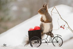 down hill load (Geert Weggen) Tags: red nature animal squirrel rodent mammal cute look closeup stand funny bright sun backlight winter snow eyes hypnosis staring watching contact each up seat picnic easter holiday egg basket bike cycle ride vehicle bicycle drive load christmas geert weggen hardeko bispgården ragunda swedish sweden jämtland
