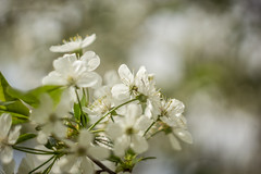 Cherry (Ákos Fekete) Tags: helios442 helios spring springtime flower white nature naturescomposition garden tree trees sun sunny afternoon closeup april 2017 sony sonyalpha6000 alpha a6000 ilce6000 ilce emount prime lens vintage adács hungary magyarország magyar macro mirrorless milc csc evil
