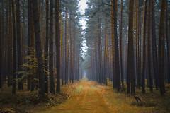 auf dem Rückweg (NPPhotographie) Tags: nature art creative oberberg npp autumn fall tree wood forest fog mist dust magic magical