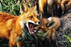 IMG_1923 red fox and kit (starc283) Tags: flickr flicker fox nature naturesfinest nebraska starc283 wildlife redfox kit outdoors outdoor