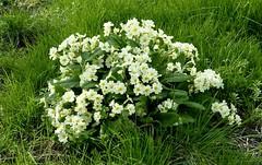 Wild Primroses  Explore (Jane.Des) Tags: primula vulgaris westwoods wyberton boston lincolnshire woodlands nature lemon flowers petals grass springtime