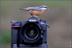 Sittelle torchepot ( Sitta europaea ) Focus Distance - 3.55 m (Le Papa'razzi) Tags: passereau oiseau boîtierphoto sittelletorchepot plumage nikon d500 d610 70200f28 camera photography