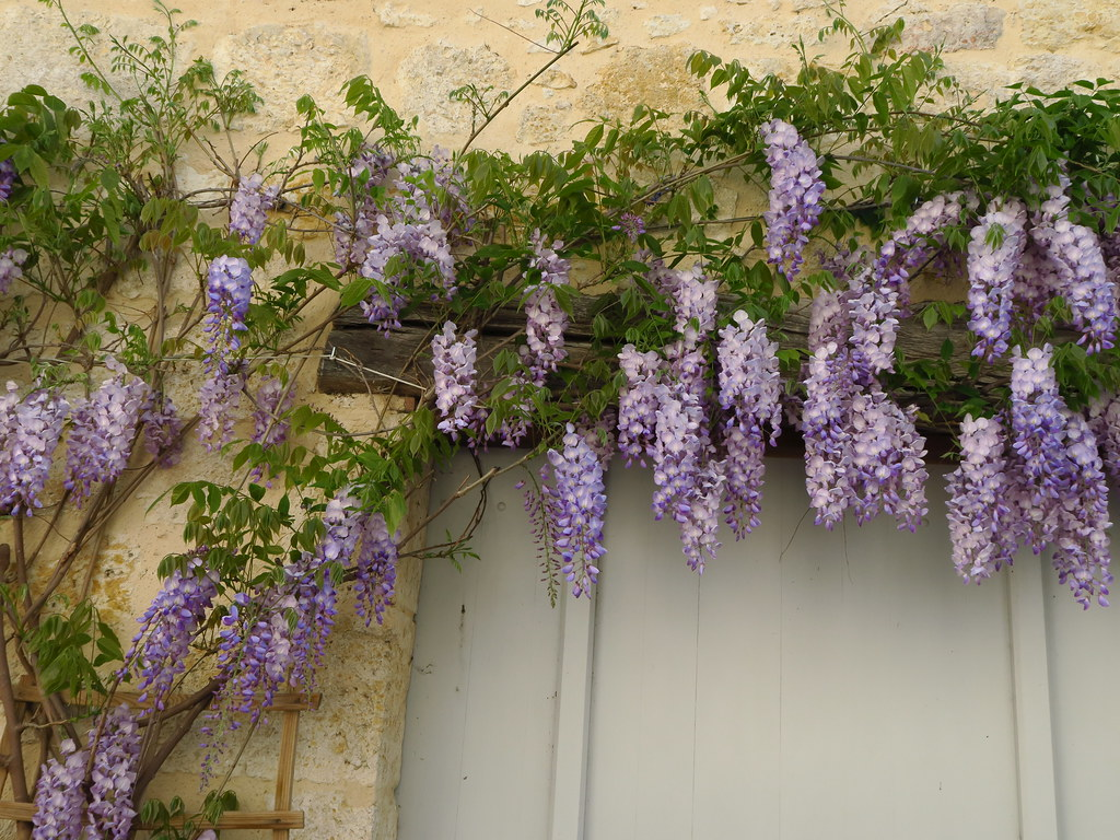 the world's best photos of fleur and glycine - flickr hive mind