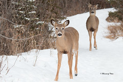 Curious Deer (Explored March 8) (Canon Queen Rocks (1,370,000 + views)) Tags: animals deer whitetaileddeer young wildlife wild nature snow cute eyes white winter animal park