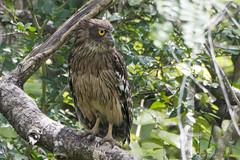 brown fish owl-1 (S. Nysteen) Tags: srilanka brownfishowl anuradhapura northcentralprovince lk brunfiskeugle ketupazeylonensis